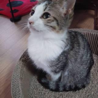 ゴロゴロベタベタの3ヶ月の白キジ猫チャコちゃん