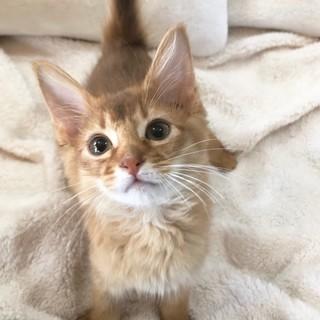 ソマリ子猫♀ 1匹のみ