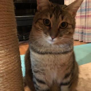 キジトラ猫の華ちゃんです。