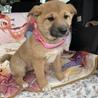 柴系風の可愛い仔犬1