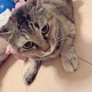 すず♀4歳(人懐っこい美猫)