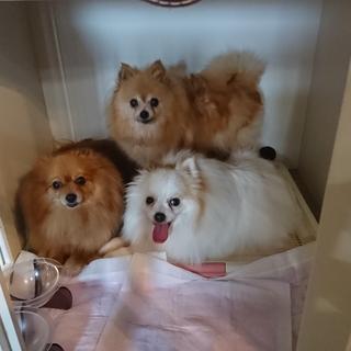 ポメラニアンの親子 母犬&娘2匹