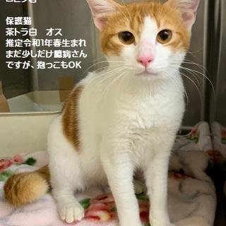 かっこ可愛い茶白猫ロビン君