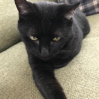 避妊済みエイズ白血病陰性ワクチン済み黒猫さん