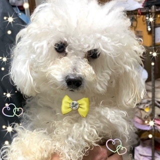 個体番号:i20-44 可愛いプードル仔犬?