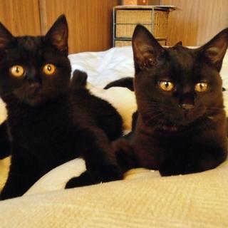 兄妹一緒に★自称黒猫界NO.1の美猫 ぶぅぶ