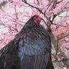 急募!!駿河軍鶏のオス サムネイル2