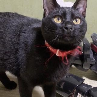 【仮名 セン】里親募集中!メスの黒猫の雑種です!