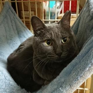 灰色猫のスモオくん