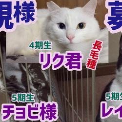 【里親募集猫】白長毛種リク君、チョビ様&レイちゃん