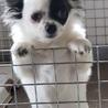チワワの子犬パンチくん♂3ヵ月 サムネイル2