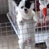チワワの子犬パンチくん♂3ヵ月 サムネイル5