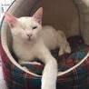 ハンディ猫 とても気さくなブランコ君 6ヵ月 サムネイル3