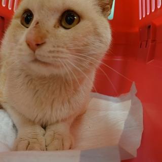 りんご猫★大福★白×ベージュの綺麗な色柄