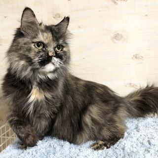温厚な性格のペルシャ猫