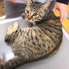交通事故にあった1歳弱の美猫キジトラちゃん
