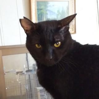 【多頭崩壊レスキュー】初心者OKの「ザ・黒猫」