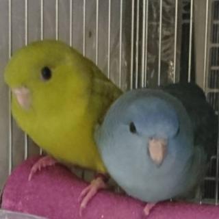 サザナミインコの仲良し2羽