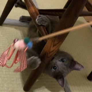 澄んだ瞳が美しいロシアンブルー風猫さん!!