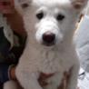 〈トライアル決定!〉ホワイト 子犬 3ヶ月