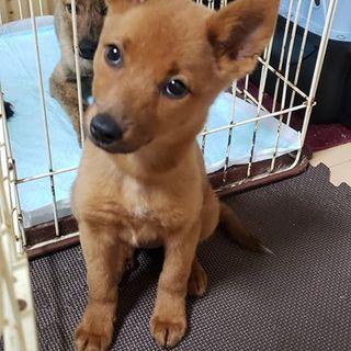 琉球犬MIX赤犬3カ月ゆずちゃん