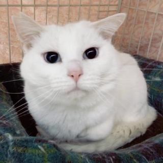トライアル決定!★抱っこ好き青い目の白猫ちゃん