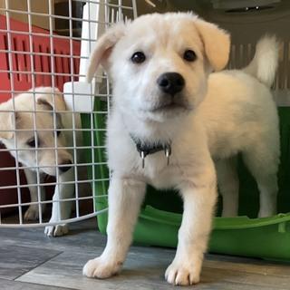 ゴールデンレトリバー風 子犬
