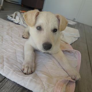 ラブラドール風 子犬