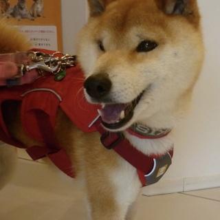 人懐っこく散歩が大好きな柴犬♂・室内飼い