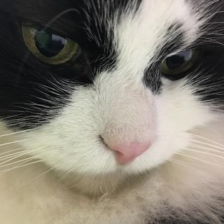 亡き妻の愛猫「モフオ」の里親を探しています。