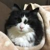 亡き妻の愛猫「モフオ」の里親を探しています。 サムネイル2