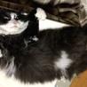 亡き妻の愛猫「モフオ」の里親を探しています。 サムネイル5