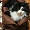 亡き妻の愛猫「モフオ」の里親を探しています。 サムネイル3
