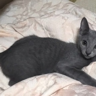 ロシアンブルーの幼猫ちゃんの里親になってください。