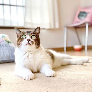 ぬいぐるみみたいな可愛いオトナ猫「のの」
