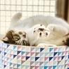ぬいぐるみみたいな可愛いオトナ猫「のの」 サムネイル6