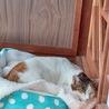 美人三毛猫さん❣️とても賢くほとんど鳴きません サムネイル3