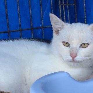 急募!【生後5ヶ月】白短毛種子猫  訳有りです