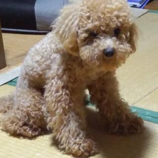 1歳9ヶ月のトイプードル犬です。