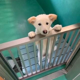 センター収容の真っ白な子犬