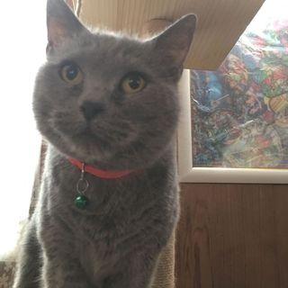 シャルトリュー ふっくら人懐っこい♪活発な猫♪
