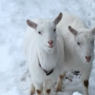 山羊(双子オス・メス)生後10か月位 ペア