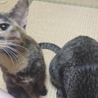 小柄で甘えん坊なサビ猫あずきちゃん
