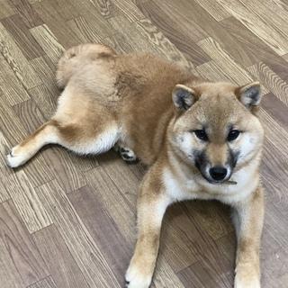 柴犬(6ヶ月