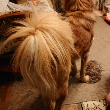 このモノ凄い毛量のシッポ…一体なんの犬種の血を引き継いでいるのだろうか…?(︶^︶)