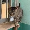 センター収容のキジ猫・小ぶり サムネイル4