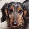 保護犬ナンバーD1375 M・ダックス