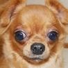 保護犬ナンバーD1360 チワワハーフ