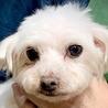 保護犬ナンバーD1359 マルチーズ