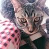 急募。美人母ちゃんとトラ子猫の親子 サムネイル7